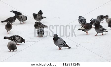Flock Of Pigeons In The City Street, Winter Time