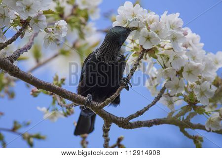 Tui in Cherry Tree
