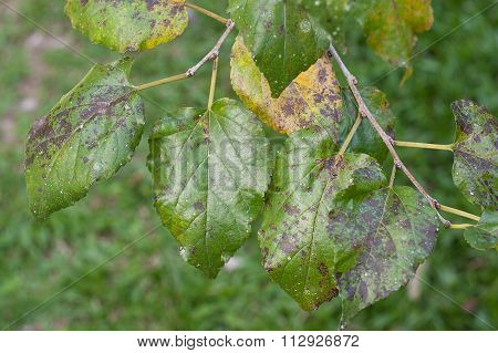 Plant Disease. Septoria leaf spot symptoms on mulberry tree.