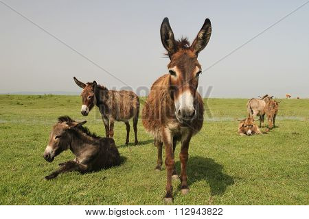 Herd Of Wild Donkeys Resting In The  Meadow