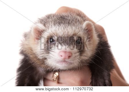 Domestic Polecat Closeup