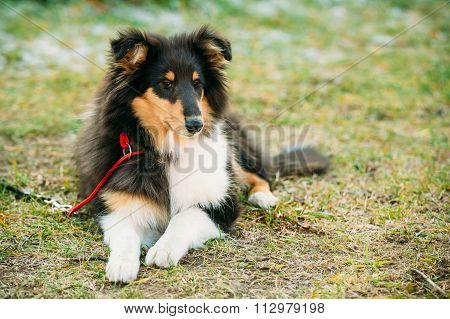 The Shetland Sheepdog, Sheltie, Collie Puppy Outdoor