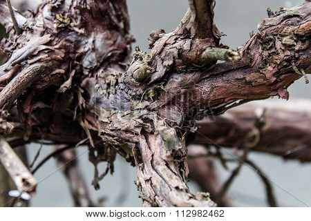Bumpy Vine Branch In Grey Background