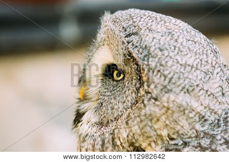 The great grey owl or great gray owl - Strix nebulosa