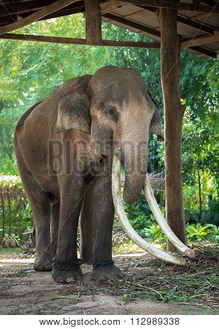 Elephant Ivory Is Believed Longest In The World.