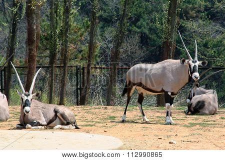 Common Oryx. Scimitar-horned antelope.