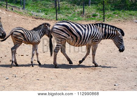 A mother Zebra and her child.