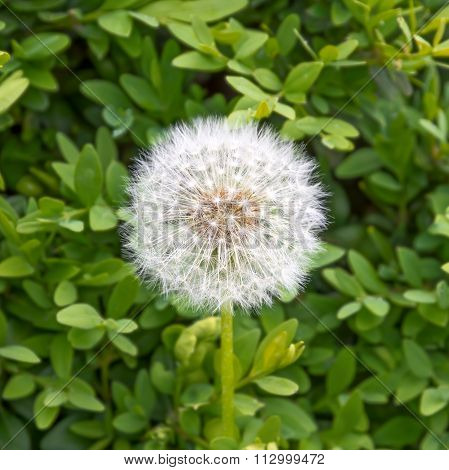 Dandelion On A Background Of Green Leaves.