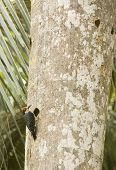 Black-cheeked woodpecker (Melanerpes pucherani) excavating a hole on a large palm poster