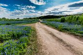 An Old Texas Country Dirt Road in a Field Full of the Famous Texas Bluebonnet (Lupinus texensis) Wildflowers. An Amazing Display at Muleshoe Bend in Texas. poster