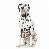 dalmatian sitting in front of white background poster