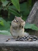 The chipmunk sits and stuffs the cheeks with seeds of the sunflower. poster