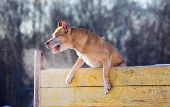 Dog breed American Pit Bull Terrier jumps over hurdle poster