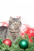Cute tabby kitten with Christmas ornaments and ribbons on white background poster