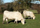 A white Charolais beef cow and her calf standing sideways in the sun grazing in a paddock poster