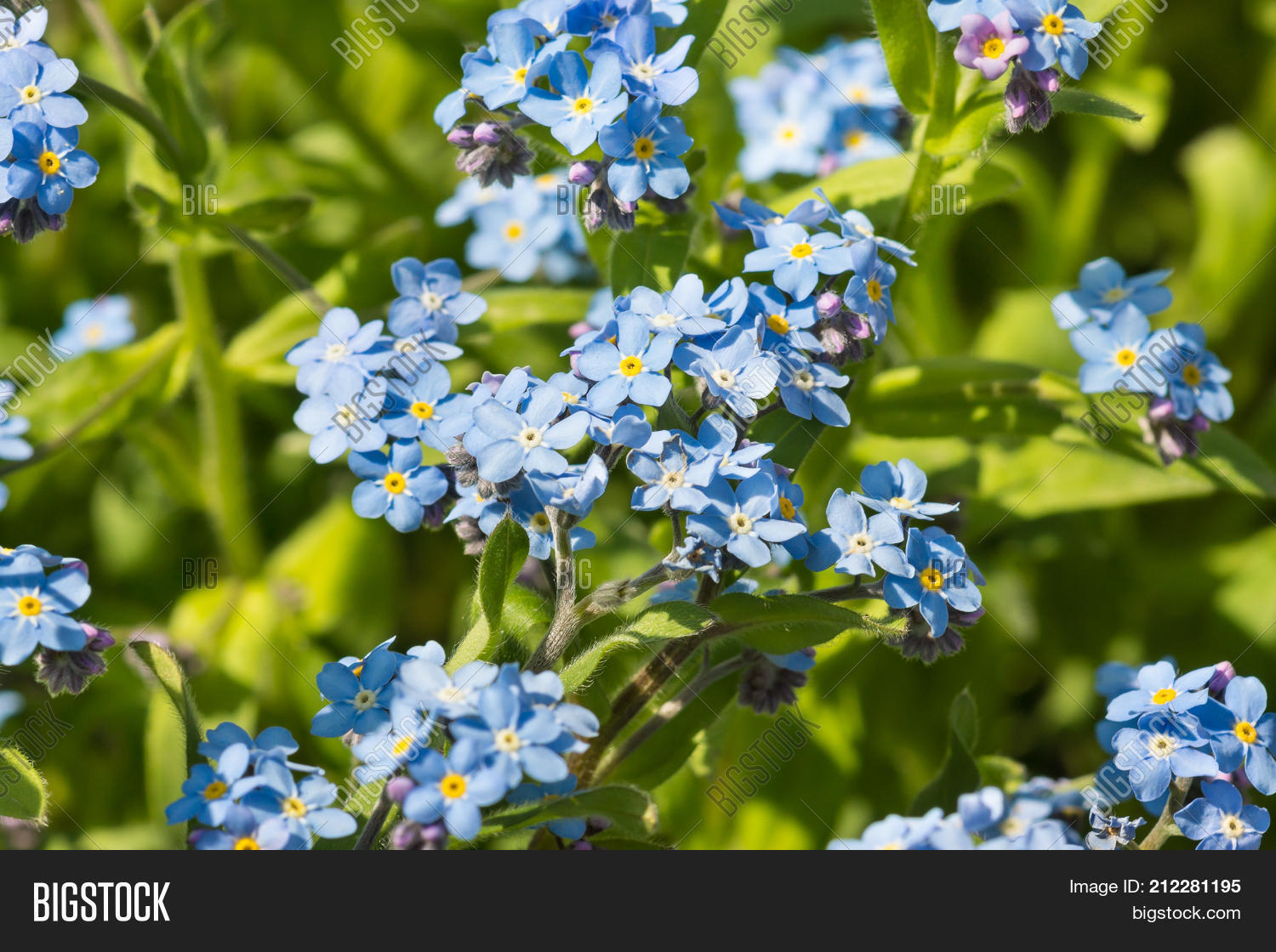 Delicate Blue Flowers Image Photo Free Trial Bigstock
