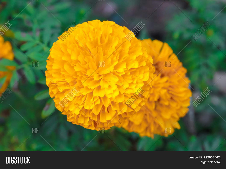 Beautiful Marigold Image Photo Free Trial Bigstock