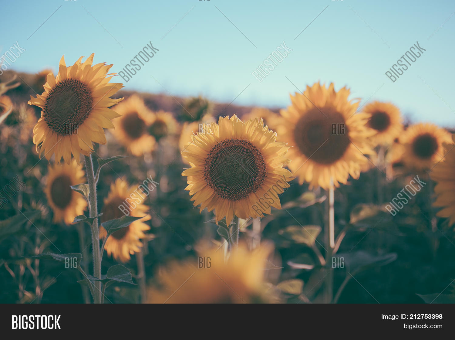 Sunflowers Texture And Background For Designers Field In Vintage Style Macro View