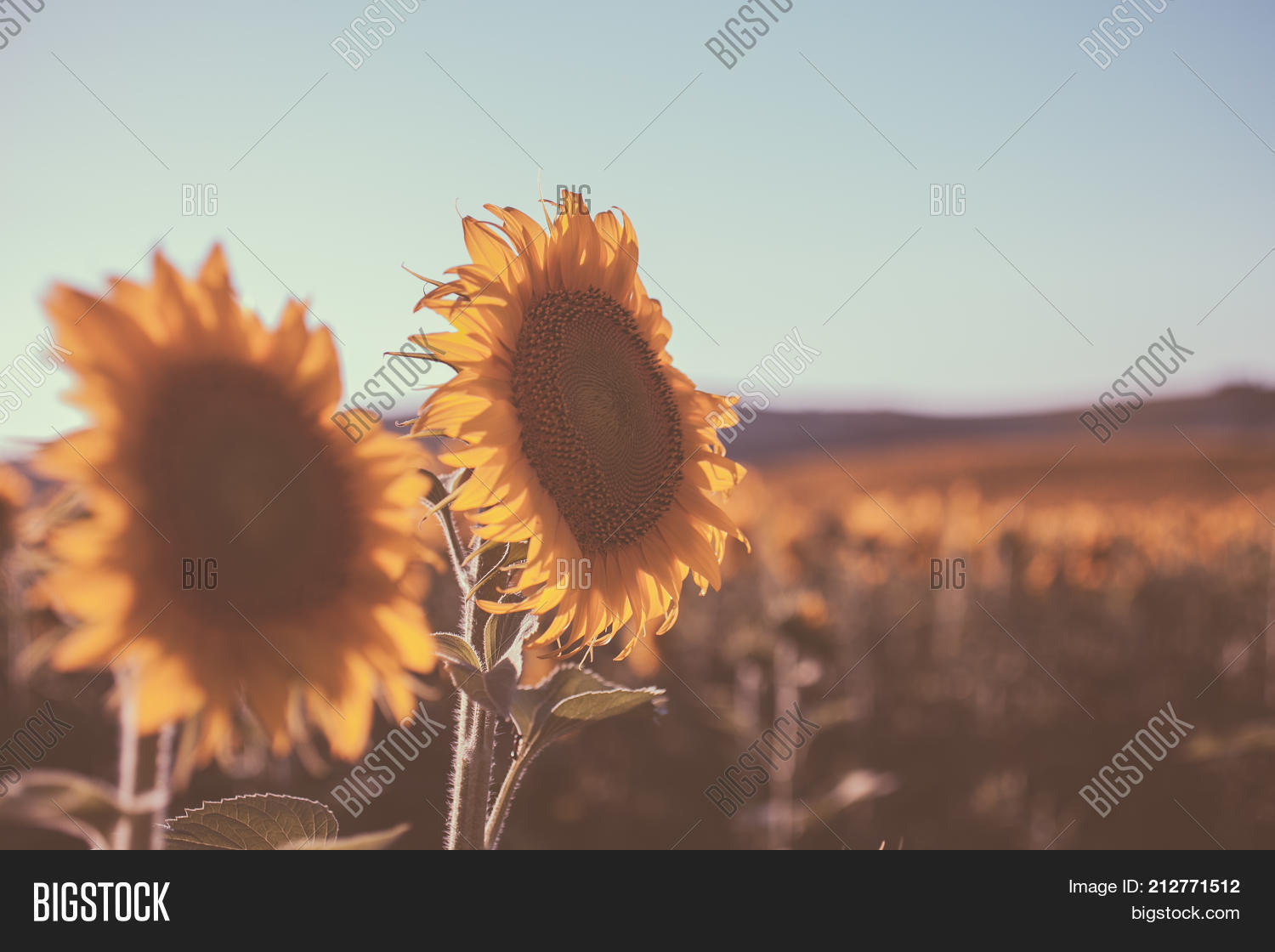 Vintage Sunflowers Texture And Background For Designers Field In Style Macro