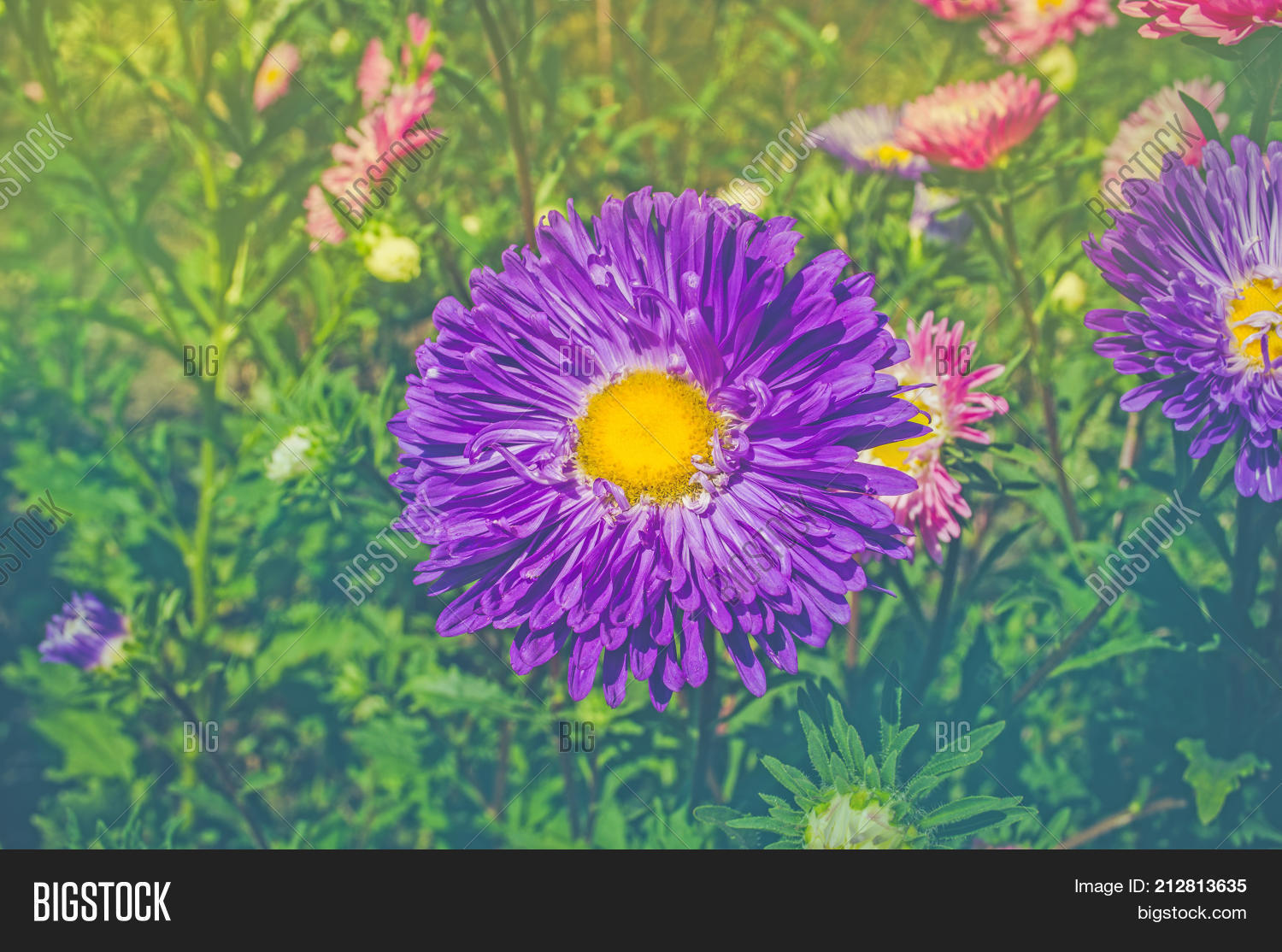 Blue Flower Asters Background Image Photo Bigstock