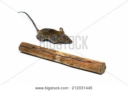 A  Little Rat And Timber On White Background
