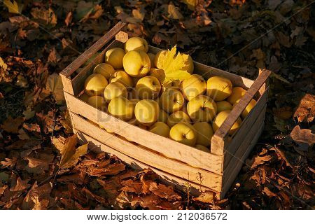 Golden apples in vintage wooden box on the ground full of autumn foliage. Ripe yellow fruits harvest in an old crate. Autumn and diet concept.