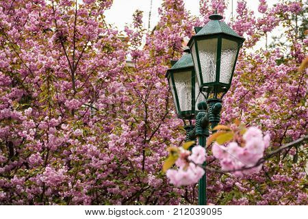 Old Green Lantern Among Cherry Blossom