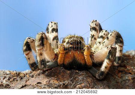 Portrait of dangerous creepy tarantula Lycosa singoriensis