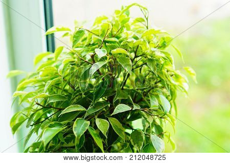 Floral background. Glossy green leaves of a ficus of Benjamin