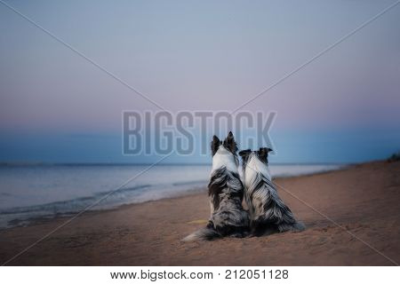 Two border collie sitting on the sea shore
