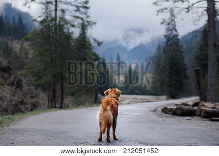 Dog Nova Scotia duck tolling Retriever is on the road in the mountains