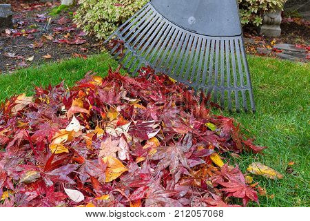 Raking red maple leaves fallen on green grass lawn in garden yard during autumn fall season