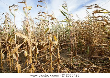 dry sweet corn before harvesting, agricultural area, close-up of stalks with cobs