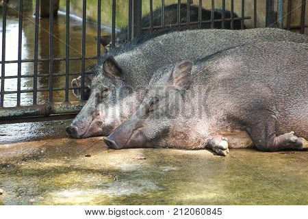 Raised wild boars lying on the ground in the zoo