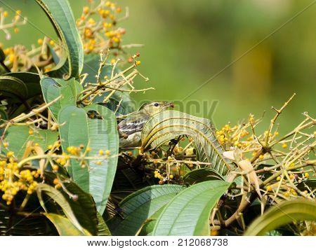 Blackpoll Warbler 02
