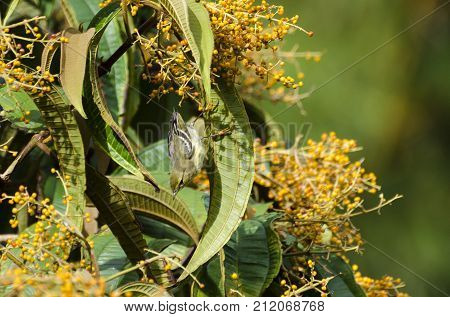Blackpoll Warbler 05