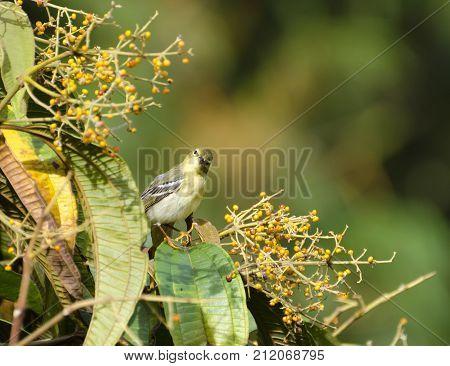 Blackpoll Warbler 08