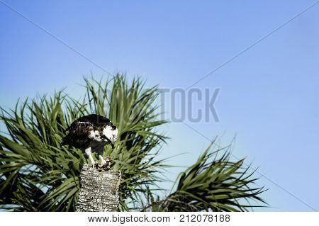 Osprey (Pandion haliaetus) -- also called sea hawk river hawk and fish hawk eating a fish sitting atop a palm tree.