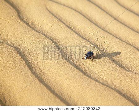 Beetle Scarabaeus on sand dunes ot desert Thar in Rajasthan India