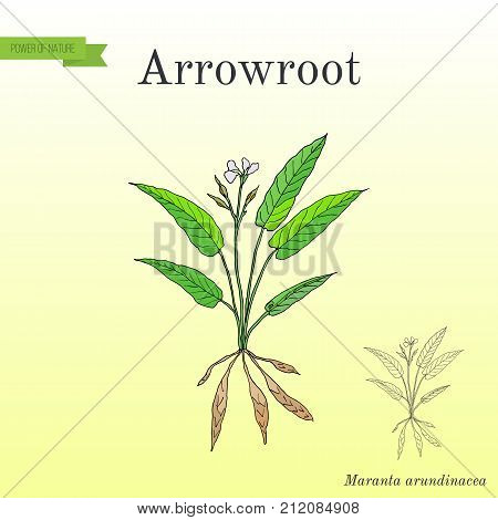 West Indian arrowroot Maranta arundinacea , or obedience plant, araru, ararao. Hand drawn botanical vector illustration