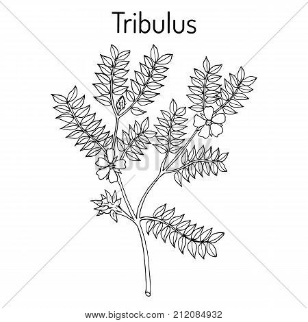 Bullhead Tribulus terrestris , medicinal plant. Hand drawn botanical vector illustration