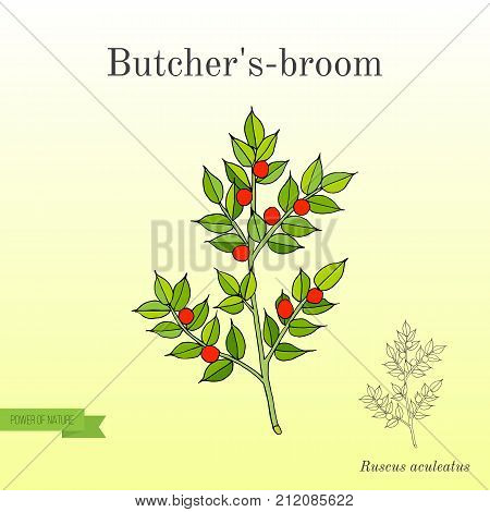Butcher s broom Ruscus aculeatus , or Knee Holly, Christmas Berry - evergreen plant. Hand drawn botanical vector illustration