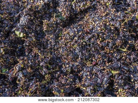 Pressed Pinot Noir Grapes after they have been pressed in a wine press in the Champagne area France.