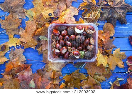 Dry autumn leaves and horse-chestnuts or Aesculus hippocastanum in tray.