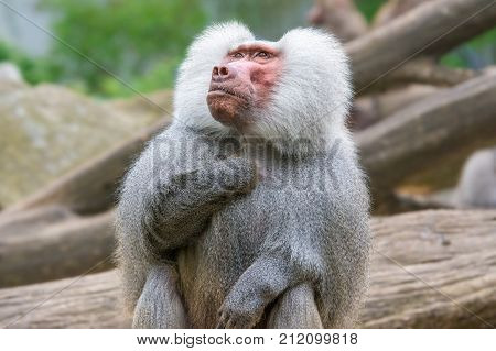 Portrait of Hamadryas Baboon also known as Papio hamadryas.