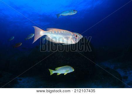 Schooling Bigeye fish. Red snapper fish
