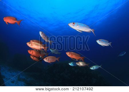 Red fish blue water. Crescent-tailed Bigeye fish. Red snapper fish