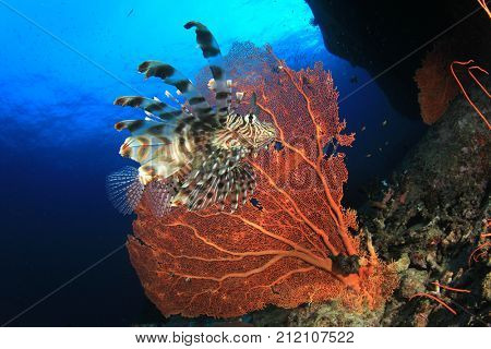 Lionfish. Fish and Gorgonian Fan Coral. Underwater fish in Similan Islands, Thailand