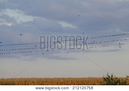 Group Robin redbreast  or Erithacus rubecula to sit on metal wire relax and some fly, Ludogorie area, Zavet, Bulgaria