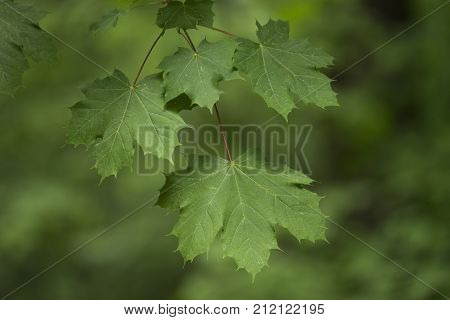 Branch with maple leaves in front of green background in spring
